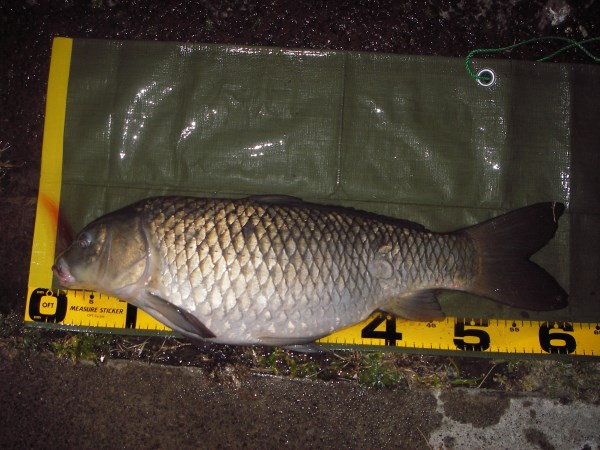 中川 鯉 62cm ダンゴ