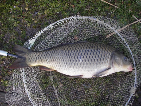 中川 鯉 60cm ダンゴ