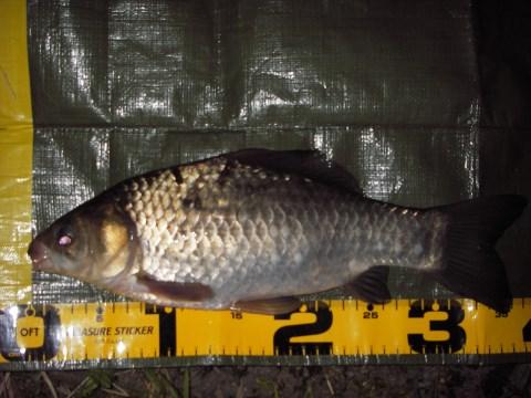 中川 マブナ 鯉フナ 36cm 10尺グルテン