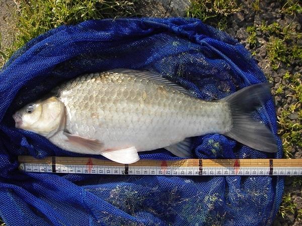 中川 フナ 36cm ダンゴ