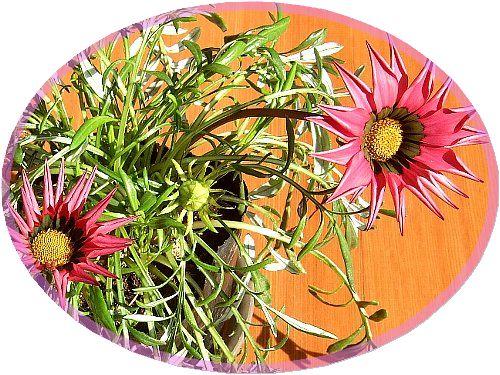 ガザニアの花001