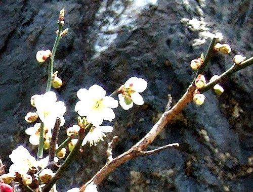 老木の梅の花002