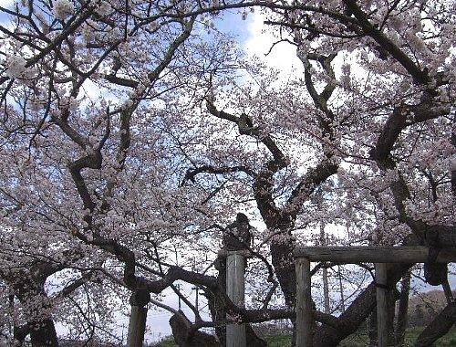 石部桜005