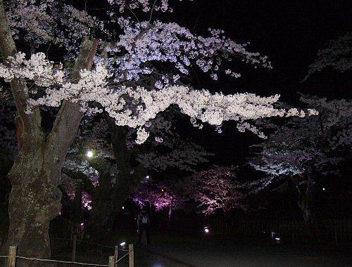 鶴ヶ城の夜桜001