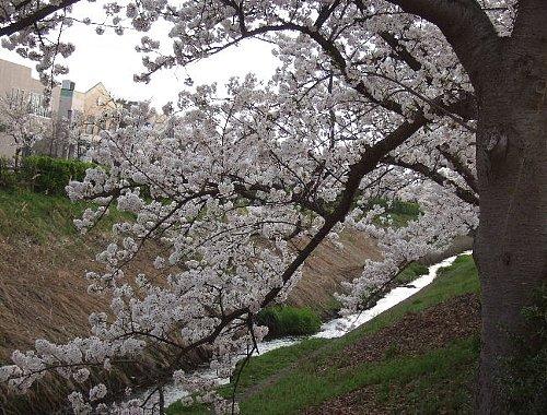 大学の桜002