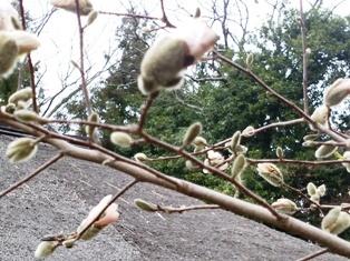 辛夷のつぼみが花開く