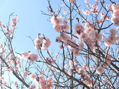吉香公園の梅