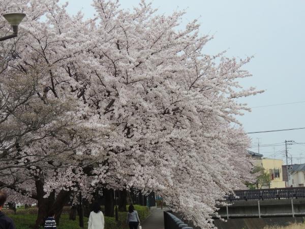 はなちゃん花見038