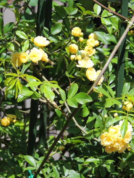 黄モッコウ016