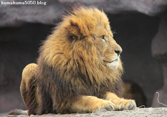ライオン_1387
