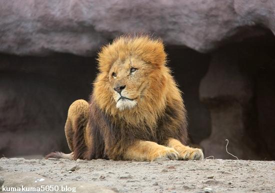 ライオン_1389