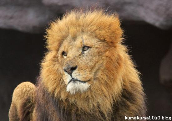 ライオン_1390
