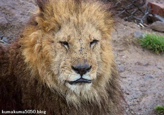 ライオン_1392