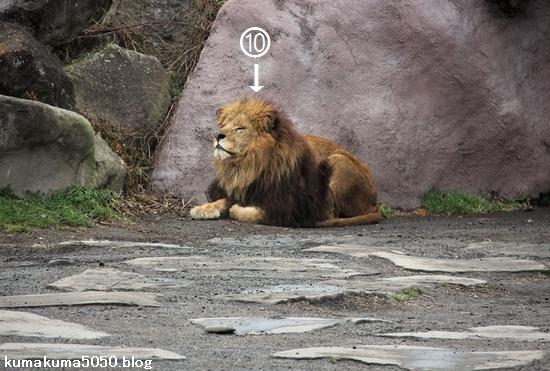 ライオン_1405
