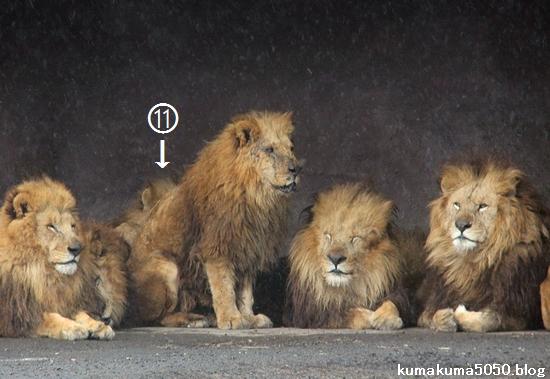 ライオン_1416