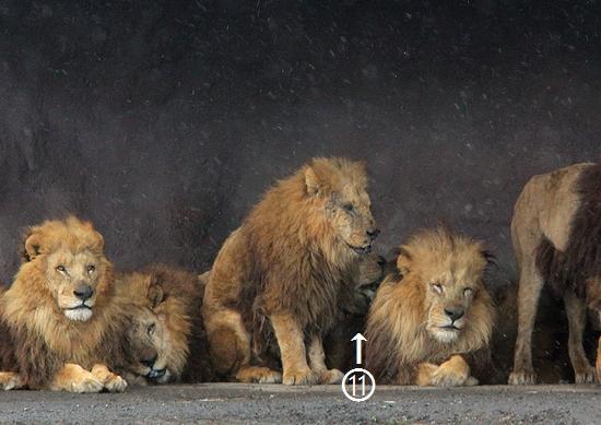 ライオン_1418