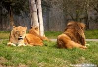 ライオン_1424