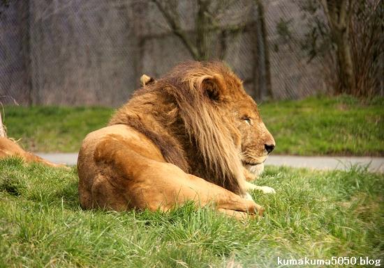 ライオン_1425