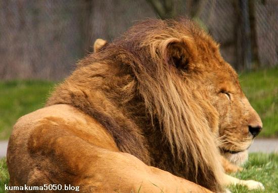 ライオン_1426