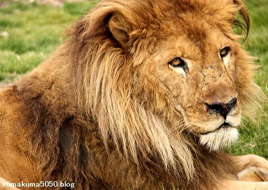 ライオン_1427