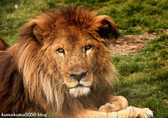 ライオン_1431