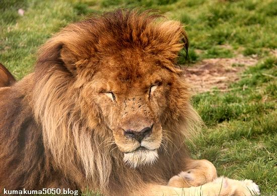 ライオン_1434