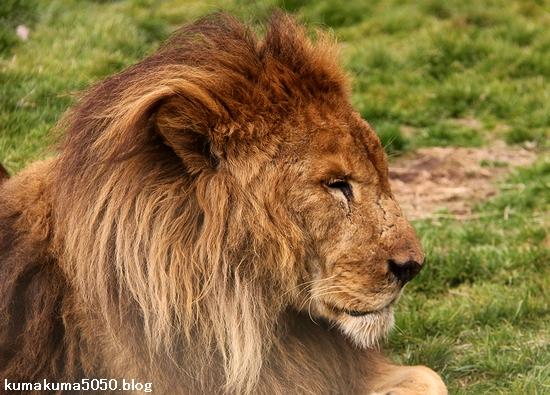 ライオン_1436