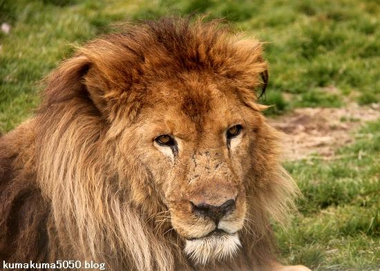 ライオン_1437