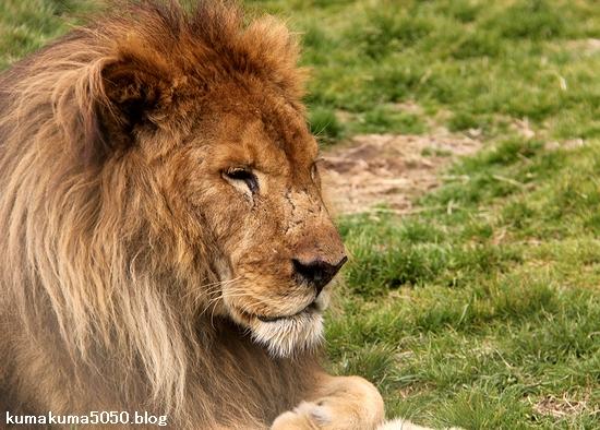 ライオン_1438