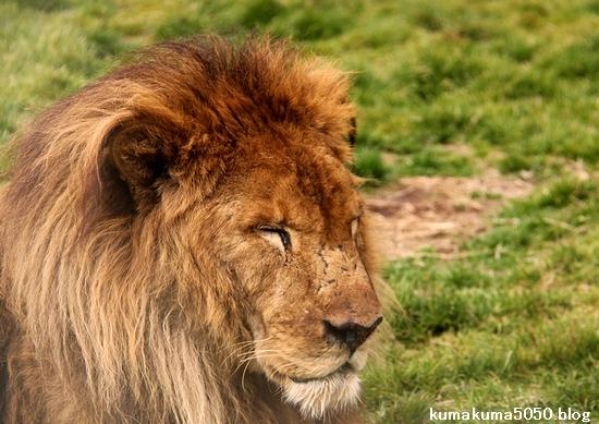 ライオン_1439