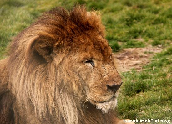 ライオン_1440