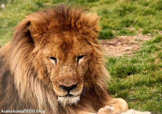ライオン_1441