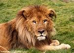ライオン_1443
