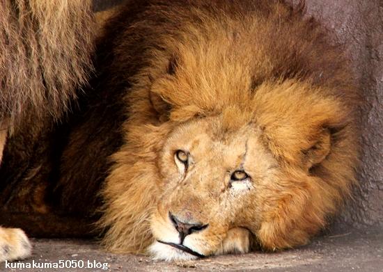 ライオン_1454