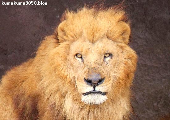ライオン_1456