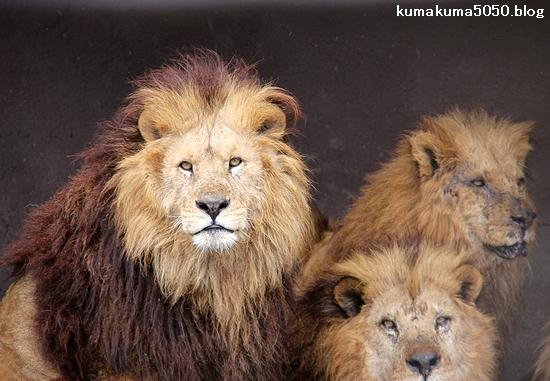 ライオン_1457
