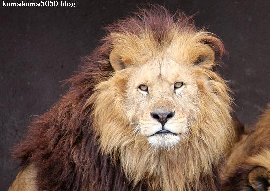ライオン_1458