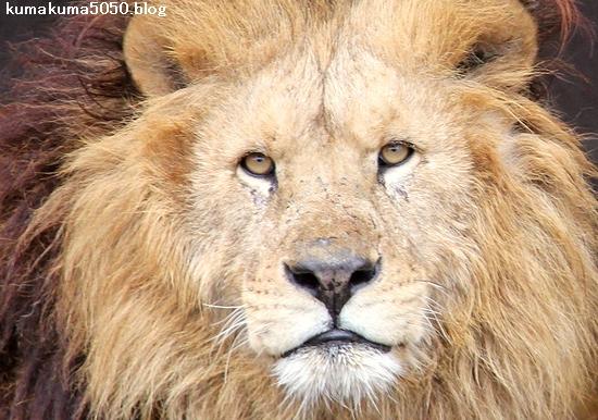 ライオン_1459