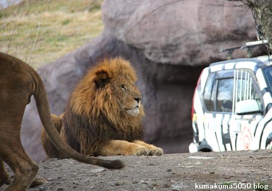 ライオン_1473