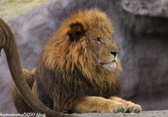 ライオン_1474