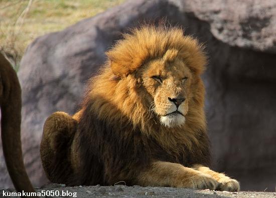 ライオン_1475