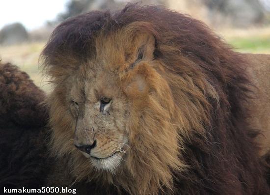 ライオン_1478