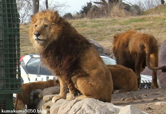 ライオン_1485