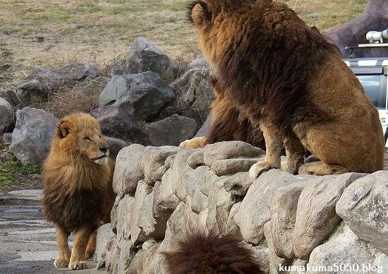 ライオン_1488