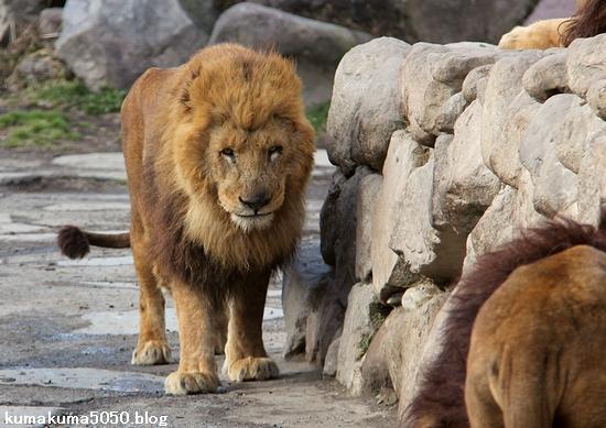 ライオン_1489