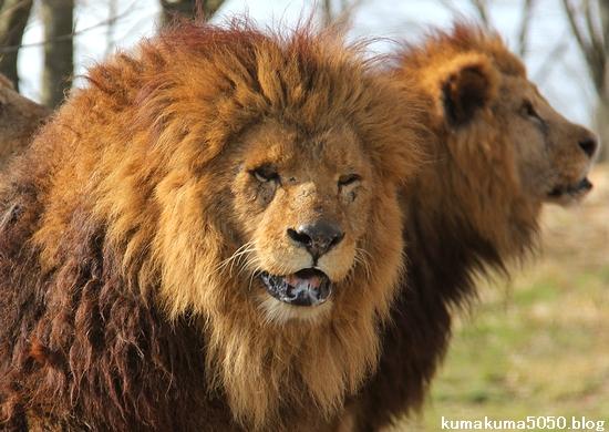 ライオン_1491