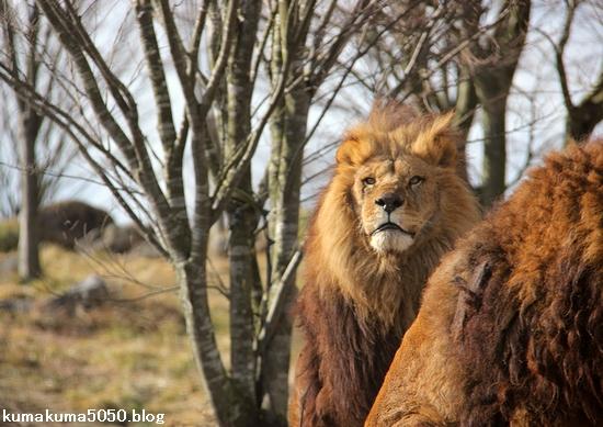 ライオン_1494