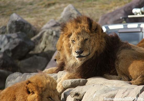 ライオン_1499