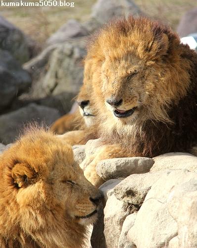 ライオン_1501
