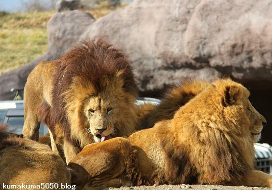 ライオン_1508